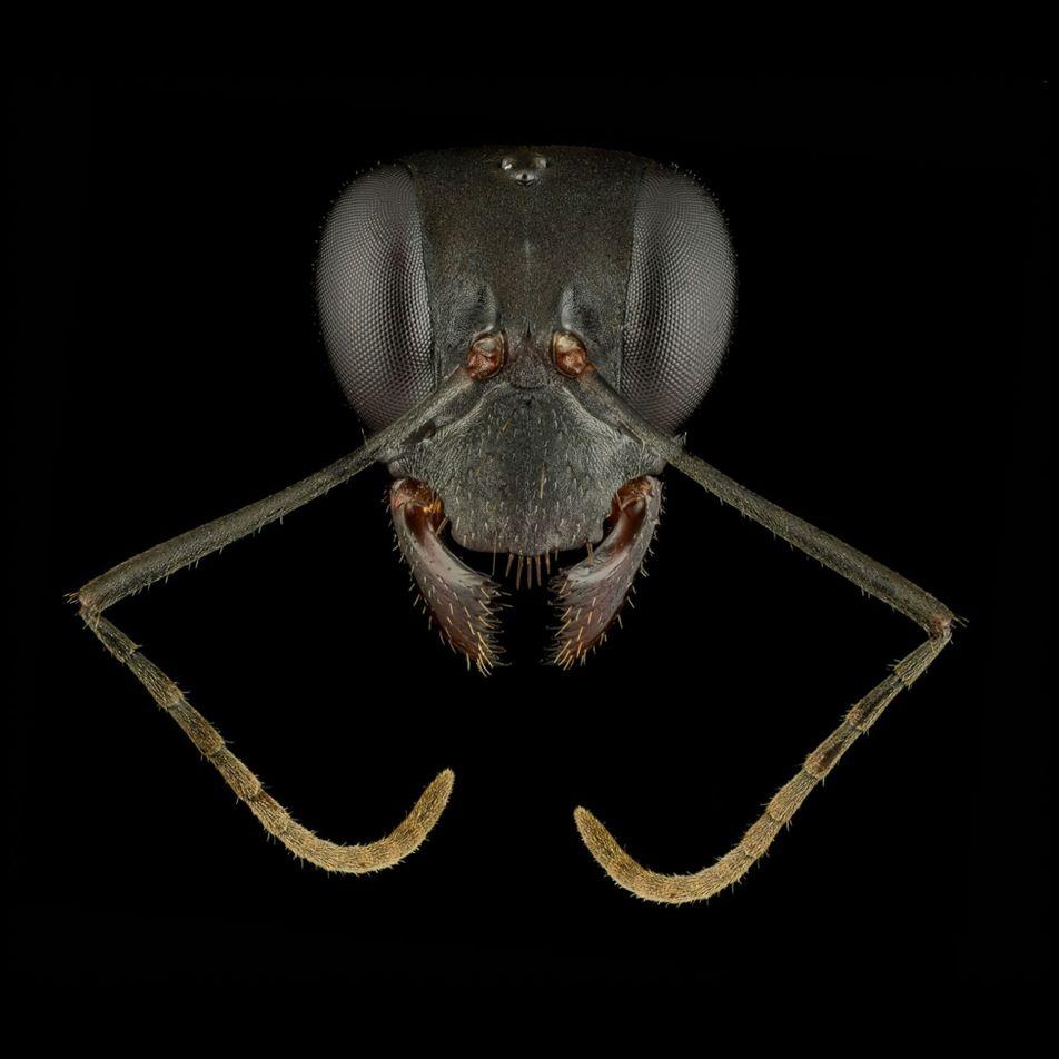 Retratos de formigas revelam a diversidade e o charme desses insetos