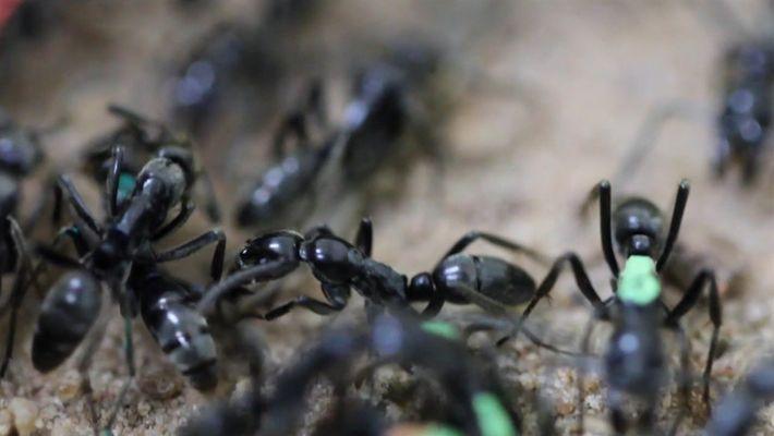 """Formigas """"paramédicas"""" resgatam e tratam companheiras feridas"""