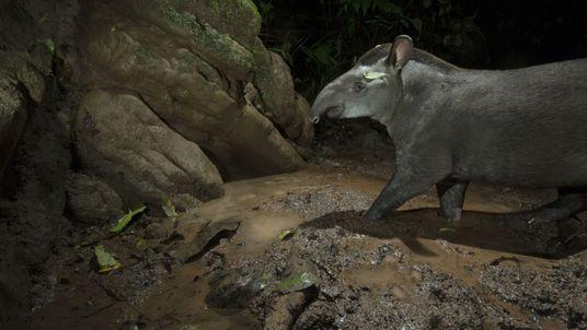 Jardineiras da floresta: ameaça às antas põe em risco a biodiversidade de ecossistemas brasileiros