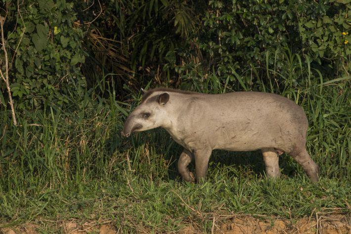 As principais ameaças às antas brasileiras são o desmatamento e a fragmentação florestal para a agricultura, ...