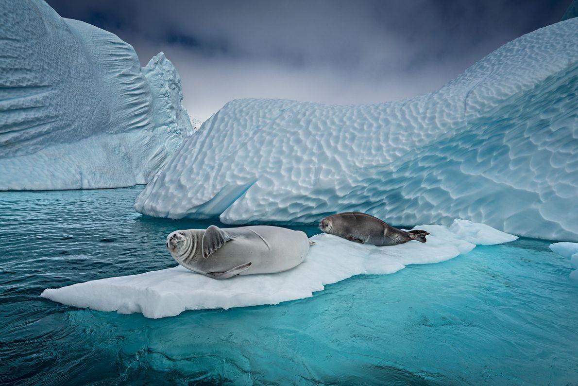 Focas-caranguejeiras acomodam-se no gelo flutuante para dormir, dar à luz, ou se esconder de orcas ou ...