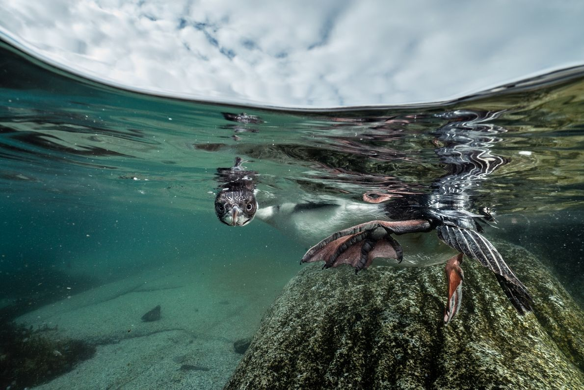 Um jovem biguá-de-olhos-azuis tenta o que pode ser seu primeiro mergulho próximo à costa. Muitas aves ...