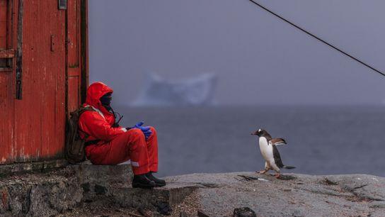 Uma pessoa sentada próximo de uma colônia de pinguins-gentoo, da espécie Pygoscelis papua, ao lado de ...