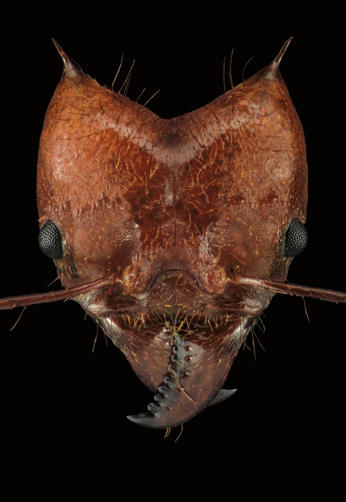 Essa é a Atta cephalotes, uma formiga-cortadeira que cultiva fungos em câmaras subterrâneas.