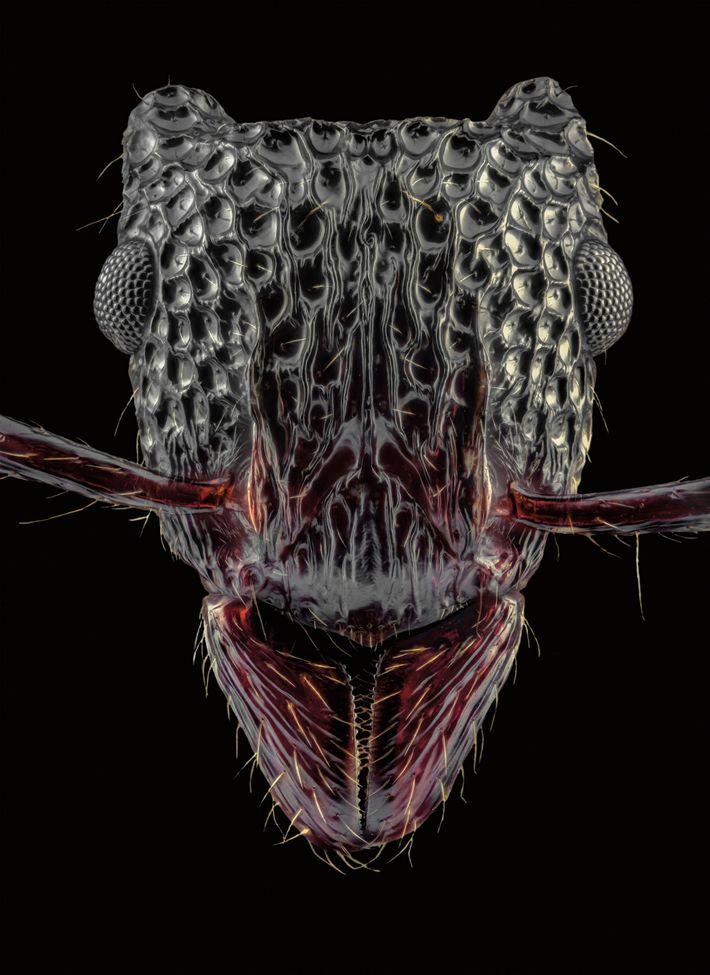 A Gnamptogenys bicolor, encontrada na China e em países vizinhos, tem marcas brilhantes em sua cabeça ...