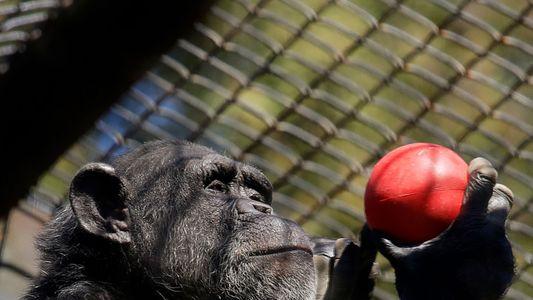 Ursos, babuínos e tigres são vacinados contra a covid-19 em zoólogos nos EUA