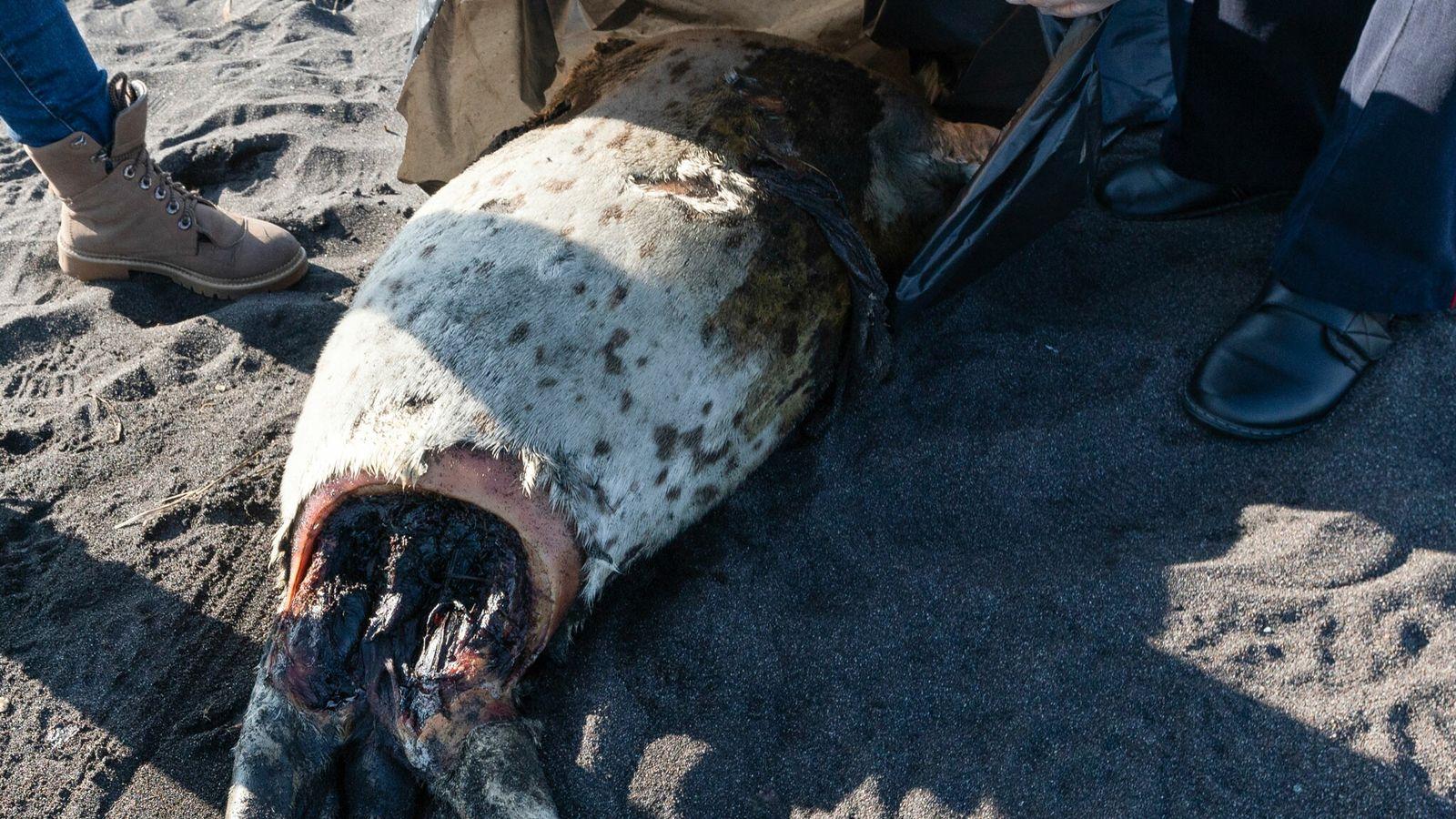 Uma foca-manchada (Phoca largha) foi encontrada morta na praia de Khalaktyrskiy, no Extremo Oriente da Rússia, ...