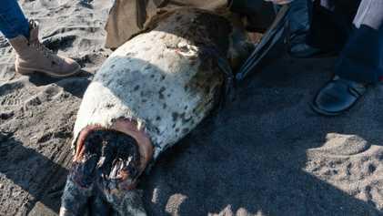 Morte em massa da vida marinha na Rússia ameaça lontras e outras espécies vulneráveis
