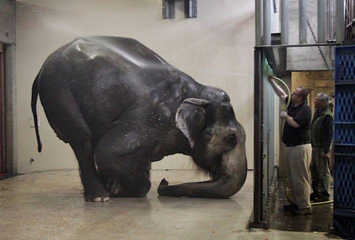 Packy, no Zoológico de Oregon, em Portland, toma seu banho matinal. Ele foi sacrificado em fevereiro ...