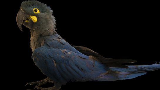 A espécie foi descrita em meados do século 19 a partir de desenhos e de uma ...