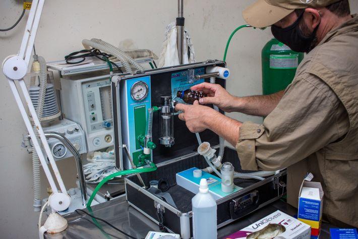 O biólogo Alexandre Martins ajusta o equipamento de sedação do animal.