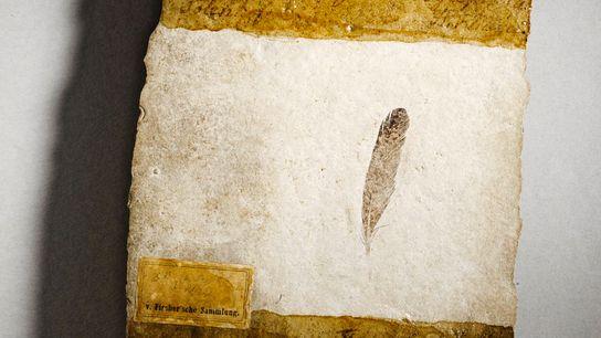 Esta pena de 150 milhões de anos primorosamente preservada e a primeira já descoberta foi encontrada ...