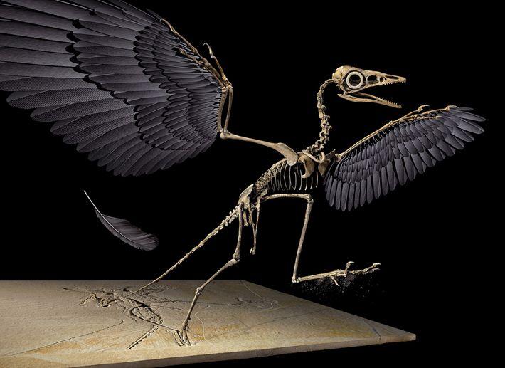 A pena jurássica é proveniente da asa esquerda do dinossauro voador Archaeopteryx, reconstituído nesta imagem em 3D.