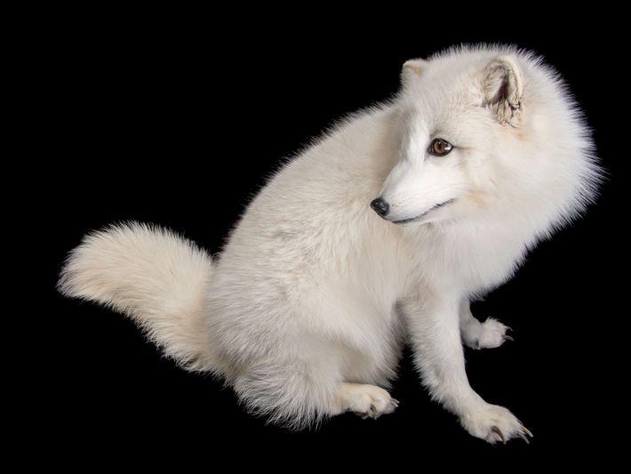 Raposa-do-ártico, Vulpes lagopus (pouco preocupante).