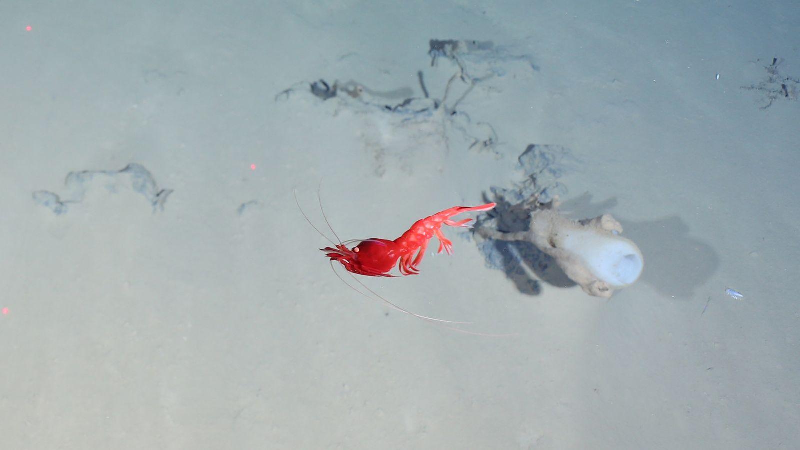 Um camarão-vermelho passa por uma esponja-de-vidro na zona onde o campo hidrotermal de Aurora bombeia calor ...