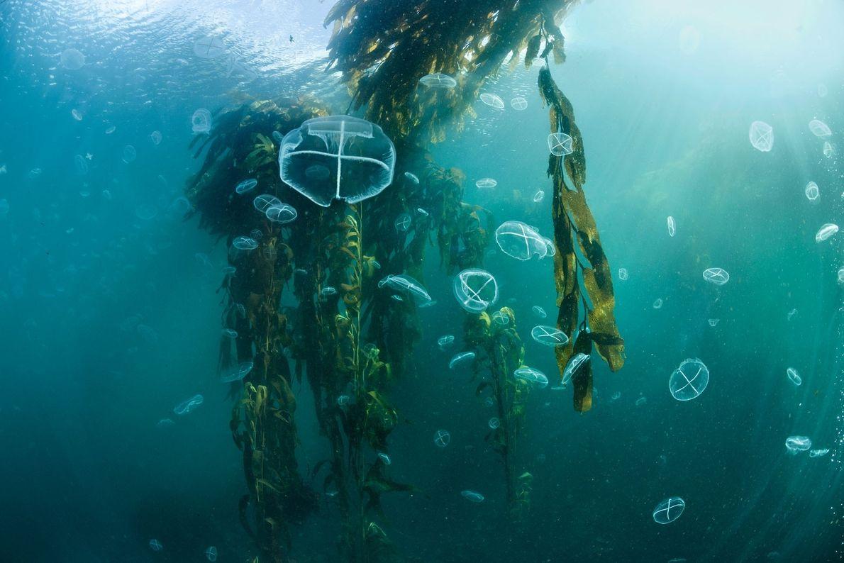 Águas-vivas flutuam entre as folhas de uma floresta de algas marinhas da Isla de los Estados, ...