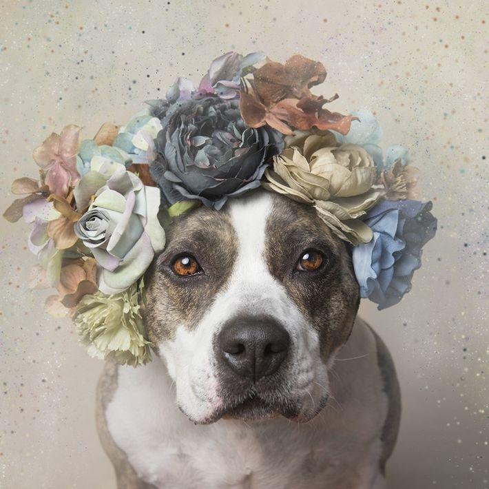 pitbulls-fofos-ensaio-fotografico
