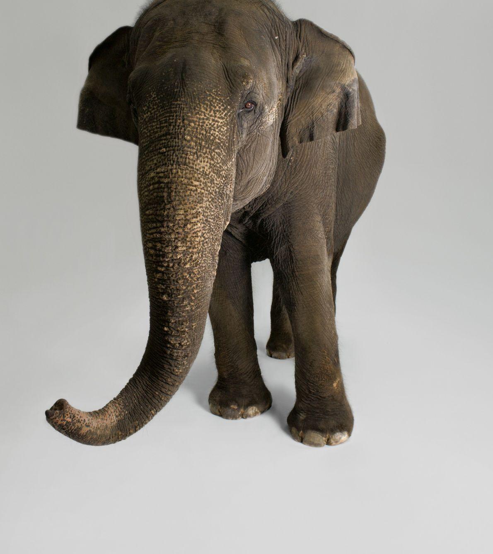 Pesquisadores documentaram uma grande variedade de comportamentos em elefantes asiáticos que indicam inteligência, incluindo a habilidade ...