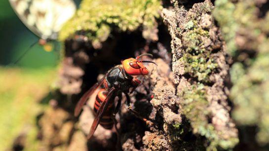 Uma pequena população de vespas-mandarinas, nativas da Ásia Oriental e do Japão — onde esta foto ...