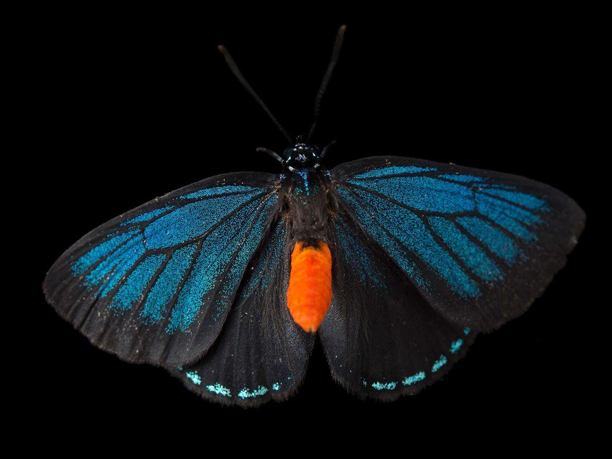 Borboleta Eumaeus atala (não avaliada) – Em meados da década de 1900, esta borboleta da Flórida ...