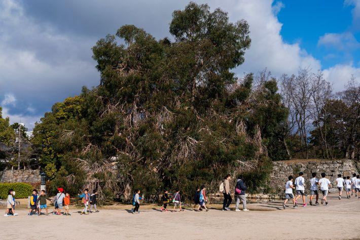 Crianças em idade escolar passam por um imponente eucalipto que sobreviveu ao bombardeio atômico — uma ...