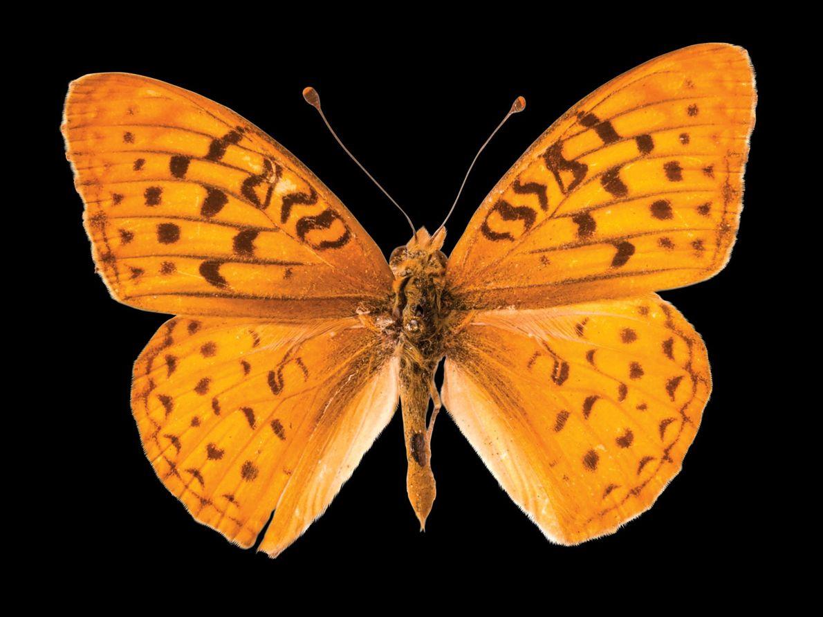 Borboleta Speyeria adiaste atossa (não avaliada) – Esta borboleta da Califórnia perdeu habitat para pastagens e ...