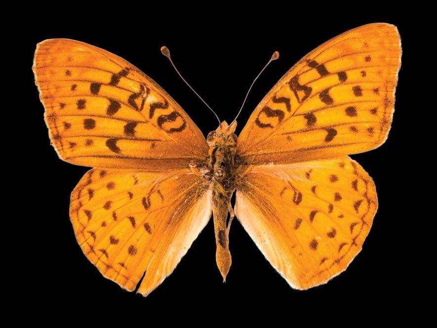 Borboleta Speyeria adiaste atossa (não avaliada) – Esta borboleta da Califórnia perdeu habitat para pastagens e …
