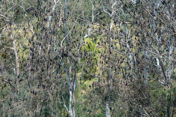 Raposas voadoras-de-cabeça-cinza penduram-se em árvores no Parque Yarra Bend. Cerca de 30 mil morcegos viviam na ...