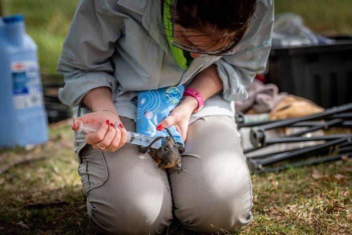 Kate Chamberlain, socorrista de animais silvestres, fornece líquidos a uma raposa-voadora-de-cabeça-cinza desidratada no Parque Yarra Bend.