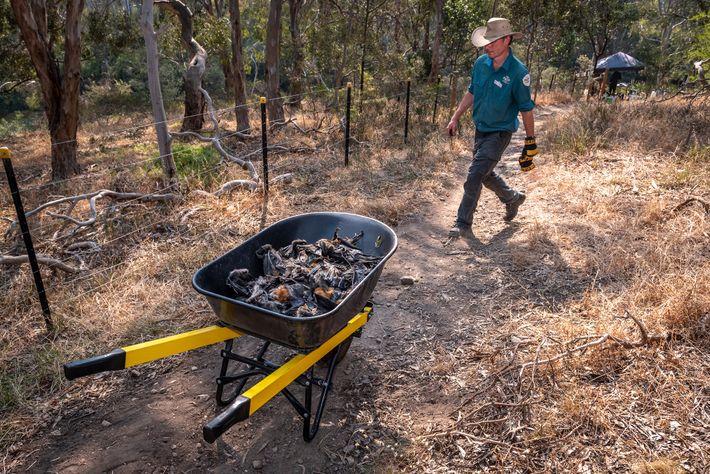 Stephen Brend, guarda florestal do Parque Yarra Bend, passa com um carrinho de mão cheio de ...