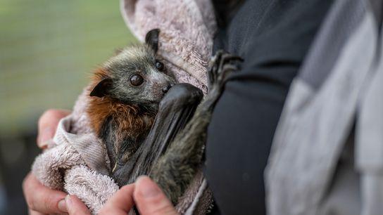 Tamsyn Hogarth, socorrista de morcegos, segura uma jovem raposa-voadora-de-cabeça-cinza resgatada no Parque Yarra Bend. Hogarth administra ...