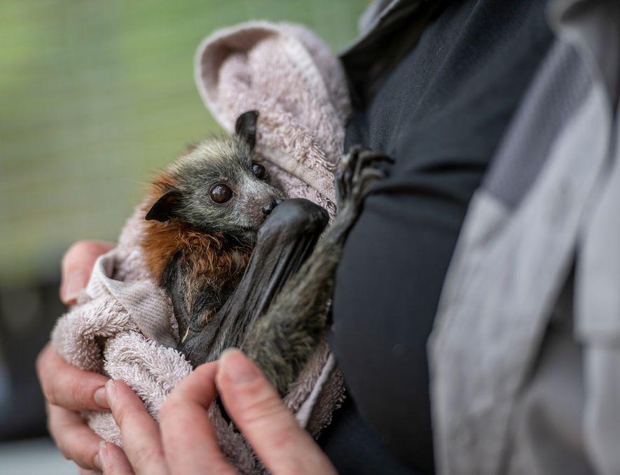 Raposas-voadoras estão morrendo em massa devido ao calor extremo na Austrália