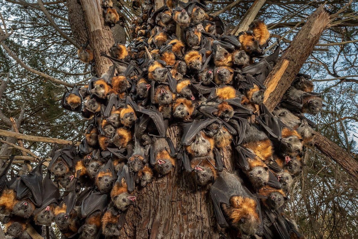 Dezenas de raposas-voadoras-de-cabeça-cinza ofegantes e sufocadas se aglomeram na tentativa de suportar o calor de mais ...