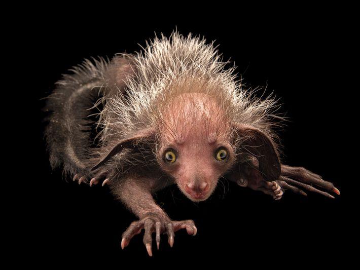 Aie-aie, Daubentonia madagascariensis (em perigo de extinção) – Embora raro, esse lêmure – o maior primata ...
