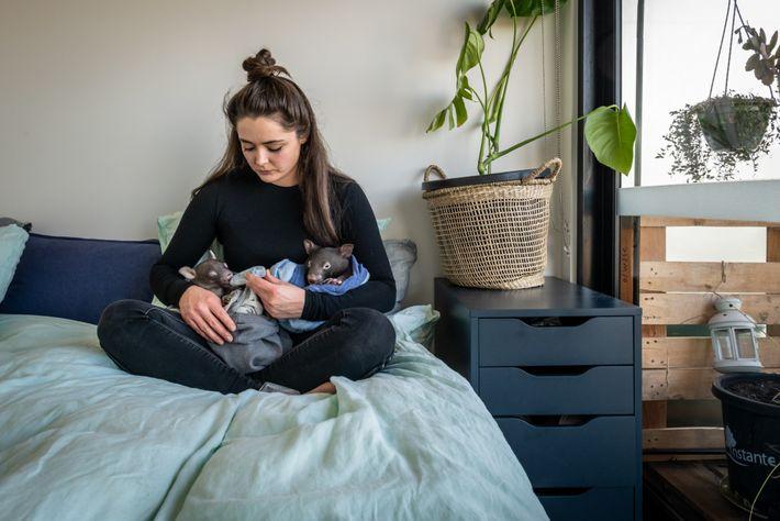 Small alimenta dois vombates com uma mamadeira em seu quarto. Os filhotes precisam de uma fórmula ...