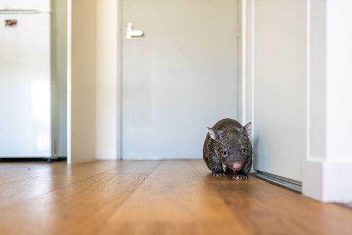Beatrice, uma vombate órfã de nove meses, corre na cozinha de Small. Quando Small a pegou, ...