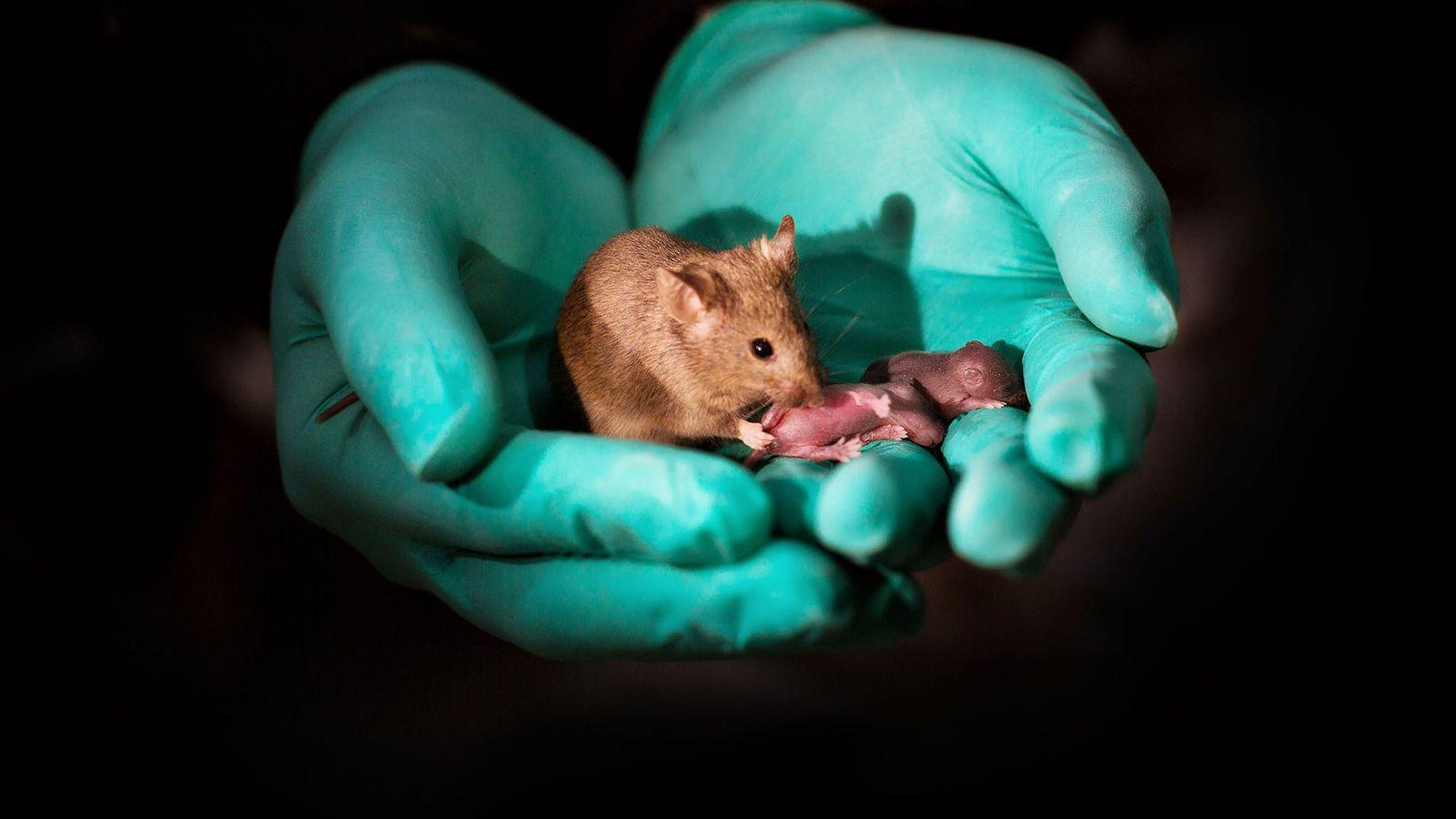 Com o uso de edição genética, duas mamães camundongos tiveram este filhote, conforme descrito em um ...