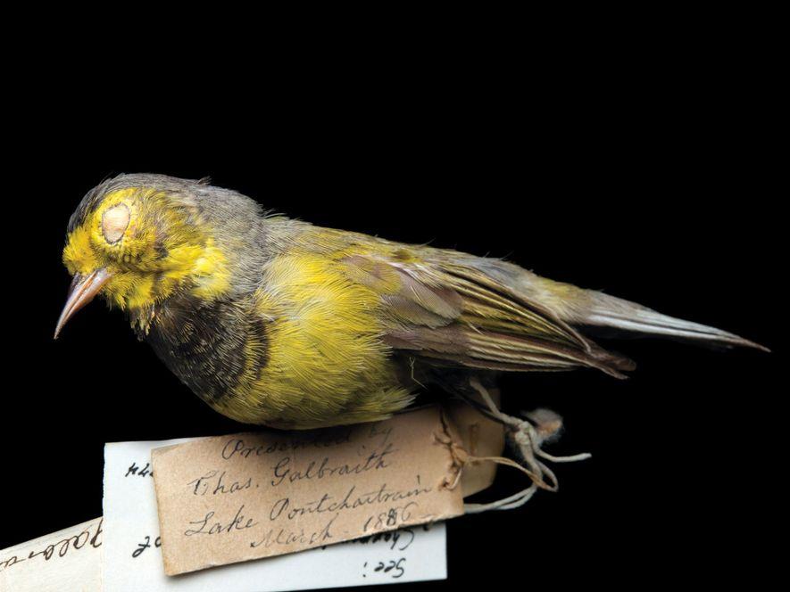 Uma das menores ave canoras nativas dos Estados Unidos já pode estar extinta devido à acentuada perda de habitat resultante da urbanização no sudeste dos EUA e em seus refúgios de inverno em Cuba. A última vez em que um foi avistada viva foi em 1988.