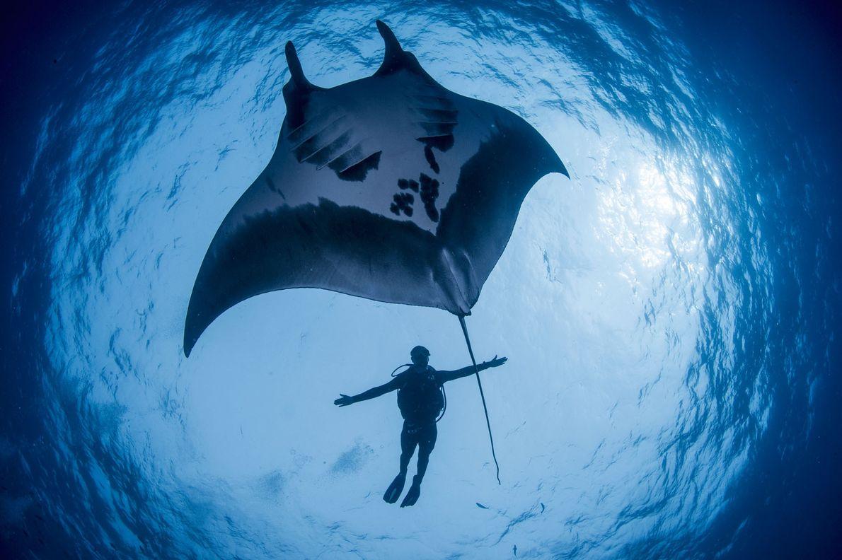 Guy Stevens, biólogo marinho da Manta Trust, compara seu tamanho ao de uma arraia-manta na reserva ...