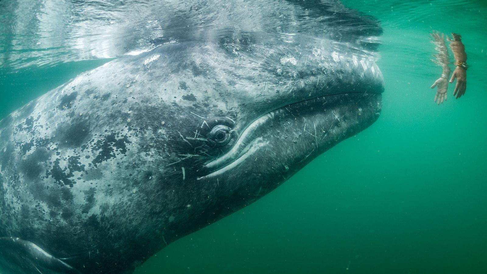 Um turista em um barco na Laguna San Ignacio tenta tocar em uma baleia-cinzenta, das muitas ...