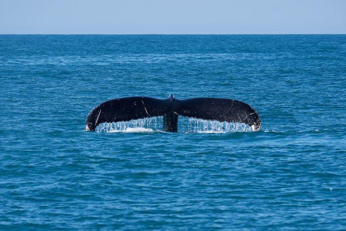 A cauda de uma baleia-jubarte funciona como uma impressão digital – é por ela que os ...