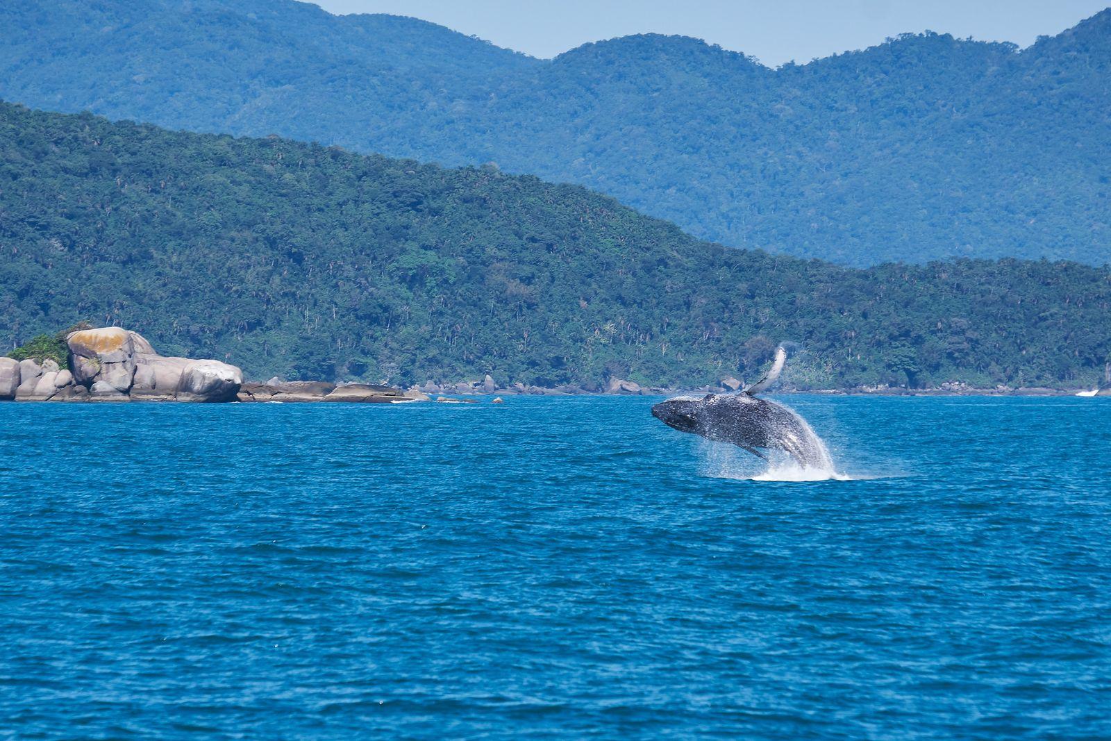 Beleia-jubarte no mar de Ilhabela. Com o aumento da população de jubartes na costa brasileira, avistamentos de ...