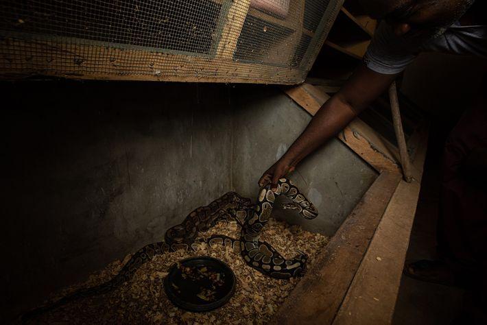 Em um local de reprodução e criação em Accra, Gana, uma píton-real é removida de seu ...
