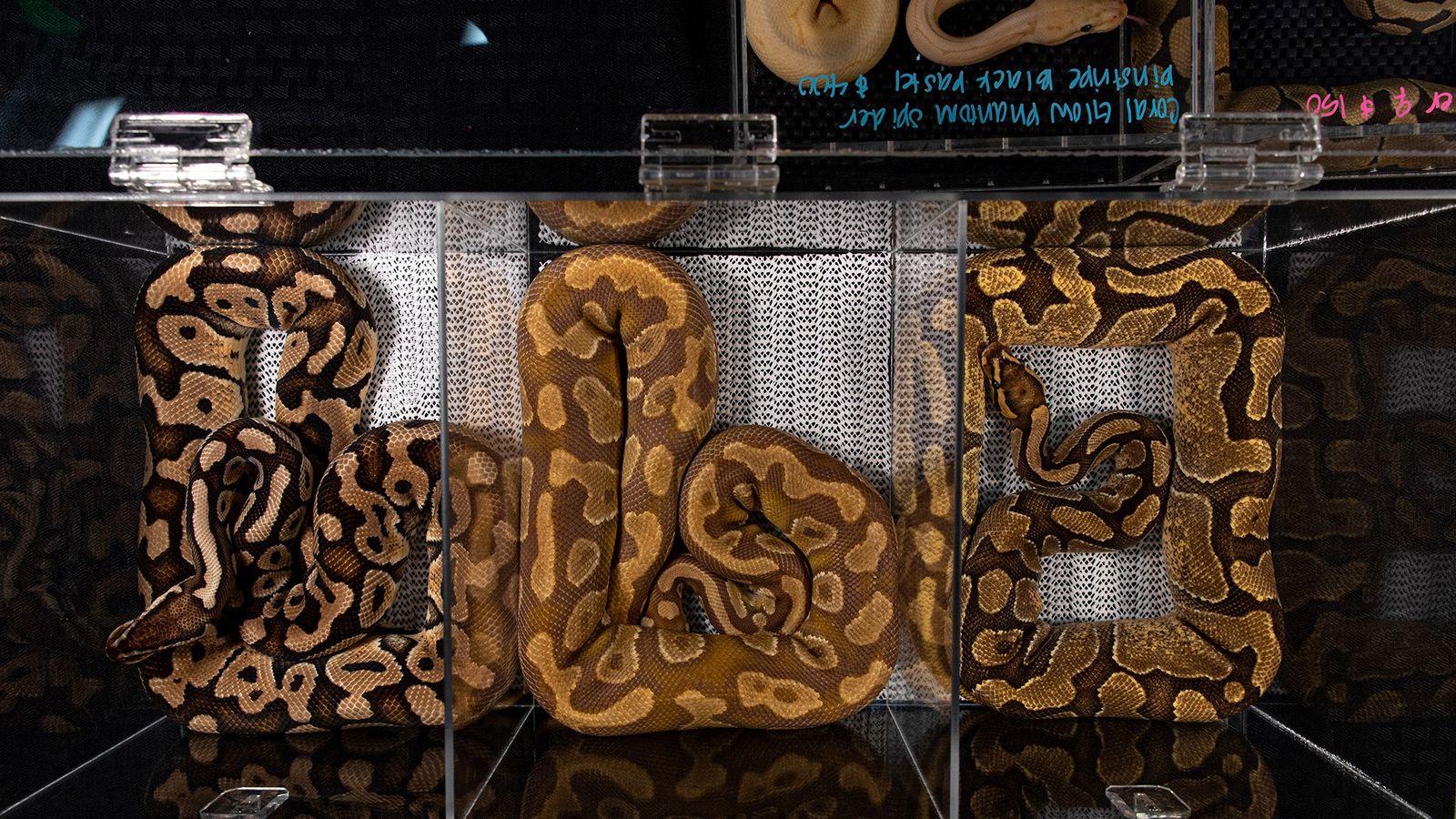 Pítons-reais criadas em cativeiro, que podem apresentar centenas de cores e tons, são exibidas para venda ...