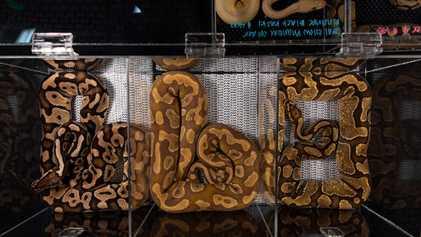 Aumento da exportação de pítons-reais como animais de estimação gera novas preocupações