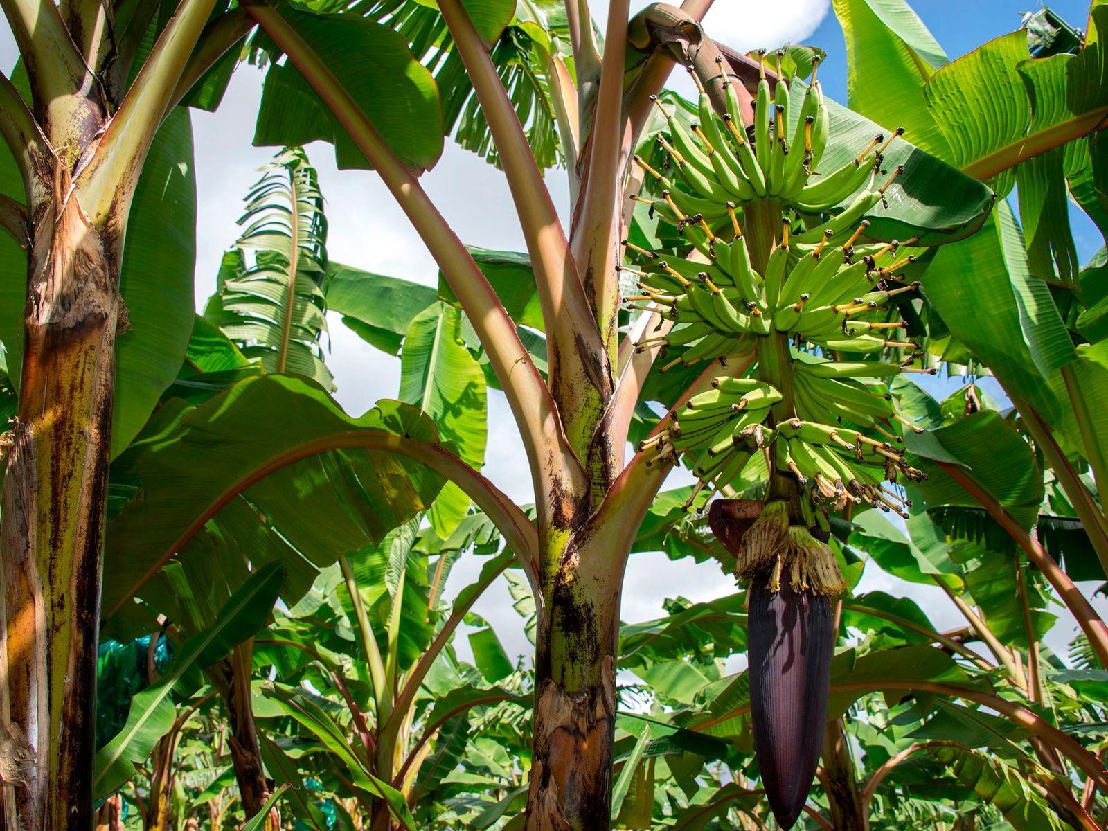 Uma bananeira perene em uma plantação em Guadalupe em 10 de abril de 2018. Um fungo ...