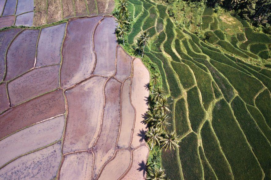 Exuberantes campos de arroz cobrem a região de Banyuwangi.