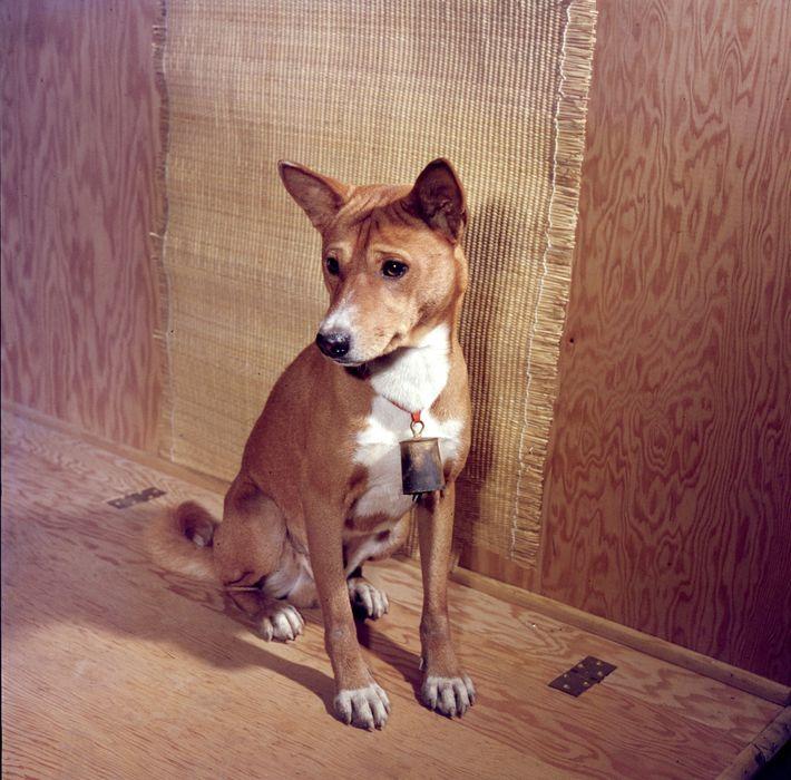 Basenjis (na foto, um animal na Pensilvânia, em 1959) não latem, mas emitem um som de ...