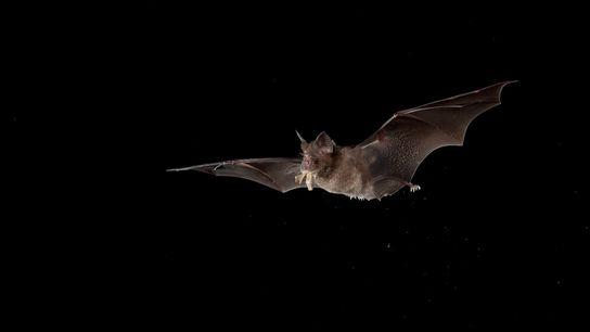 O morcego-ferradura chinês (Rhinolophus sinicus) pode ser encontrado do norte da Índia ao sul da China. ...