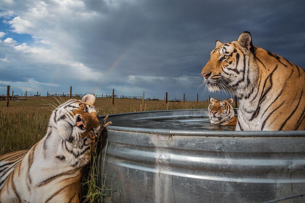 Clay, Daniel e Enzo, três dos 39 tigres resgatados de um parque de animais em Oklahoma, ...